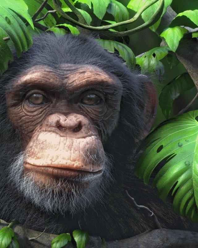 3D Chimpanzee Lenticular Hologram